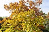 Horse Chestnut (Aesculus mutabilis) 'Penduliflora', Arboretum of the Ecole du Breuil, France