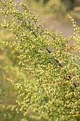 Annual Mugwort (Artemisia annua), Gard, France