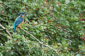Kingfisher (Alcedo atthis) perched in a hawthorn