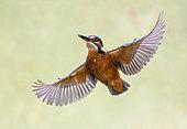 Kingfisher (Alcedo atthis) in flight, England