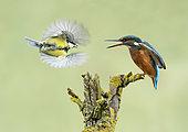 Kingfisher (Alcedo atthis) threatening display towards great tit (Parus Major)