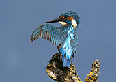 Kingfisher (Alcedo atthis) preening, England