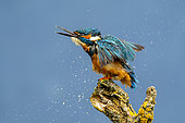Kingfisher (Alcedo atthis) shaking water out of his feather, England
