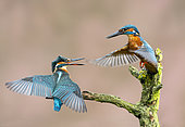 Kingfisher (Alcedo atthis) male and female perched on a branch, England