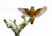Kingfisher (Alcedo atthis) perched on a branch, open wings, Engalnd