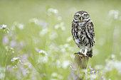 Little owl (Athena noctua) perched on a post, England