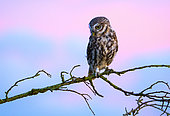 Little owl (Athena noctua) perched on a branch at sunset, England