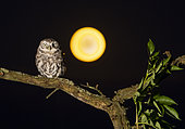 Little owl (Athena noctua) perched on a branch with the moon in the background