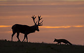 Red deer (Cervus elaphus) with Red fox (Vulpes vulpes) silhouette at sunset, England