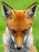 Red fox (Vulpes vulpes) head details, England