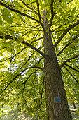 Turkish hazelnut (Corylus colurna) in autumn