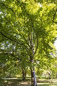 Smooth alder (Alnus serrulata) in autumn