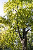 Arizona walnut (Juglans elaeopyren) in autumn