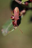 Squash bug (Gonocerus insidiator) on Buckthorn (Rhamnus alaternus) fruit, Gard, France