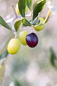 Olives sur l'arbre en automne, Gard, France