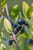 Mock privet (Phillyrea latifolia), fruits in autumn, Gard, France