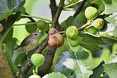 Garden Warbler (Sylvia borin) in a Common Fig tree, France