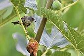 Sardinian Warbler (Sylvia melanocephala) in a Common Fig tree, France