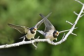 Barn Swallow (Hirundo rustica) young begging for food, France