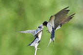 Barn swallow (Hirundo rustica) feeding her young on a branch France