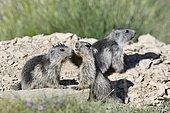 Alpine marmot (Marmota marmota) two subadult playing, France