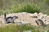 Marmot (Marmota marmota) Young with an adult, France