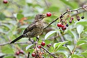 Blackbird Juvenile (Turdus merula) eating a Cherry, France