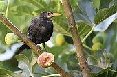 Blackbird (Turdus merula) in a Common Fig tree, France