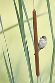 Reed Warbler (Acrocephalus scirpaceus) on a cattail, France