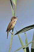 Reed Warbler (Acrocephalus scirpaceus) singing on reed, france