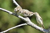 House sparrow (Passer domesticus) female feeding fledgling, France