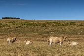 Aubrac cows, Lozere, France
