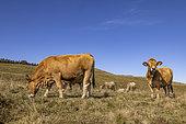 Aubrac cows, Lozère, France