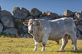 Charolais bull, Aveyron, France
