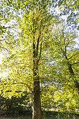 Quercus heterophylla