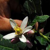 Santa Maria del Cedro - Calabria  fiori del cedro