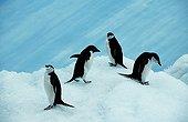 Antarctica;Wiencke Island;Port Lockroy - Gentoo penguins (Pygoscelis papua) on sea-ice with cruise ship beyond