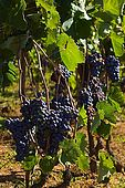 Croatia Lastovo Island Vineyard.