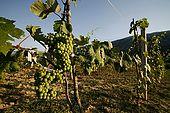 Debin grapes near Suk, Province of Permet, Albania