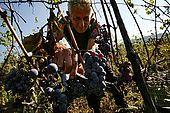 Black Sheshi harvest, Valley of Permet, Albania