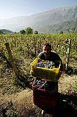 Harvesting grapes, Valley of Permet, Albania
