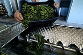 First grapes to be processed at the recently built wine cellar of Iljare, Valley of Permet, Albania