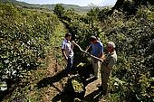 Weighting grapes during the harvest, Valley of Permet, Albania