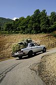 An old Mercedes - a real cult for almost every Albanian - overloaded of 'chai mali' or 'tea from the mountains', an herb commonly used for making a hot, healthy beverage, Valley of Permet, Albania