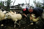 Vaccinating sheeps is worthy: healthy milk means wonderful cheese, village of Strembec, Valley of Permet, Albania