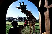 Kenya, region de Nairobi, le Manoir aux Girafes, ou Bryony et Rick Anderson veulent sauver un groupe de girafes de  Rotschild. L'heure du gouter pour Daisy III