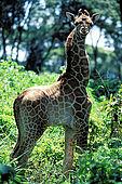 Kenya, region de Nairobi, le Manoir aux Girafes, ou Bryony et Rick Anderson veulent sauver un groupe de girafes de Rotschild. Un jeune girafon
