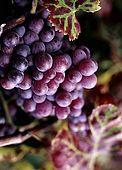 Italy, Sicily, Stromboli island. Grape.