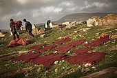 Skins drying out on the surrounding hillsides being transported back to the media, Fes, Morocco