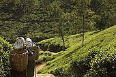 Tea pickers walking in Tea Factory Hotel's tea plantations, Nuwara Eliya, Central Province, Sri Lanka